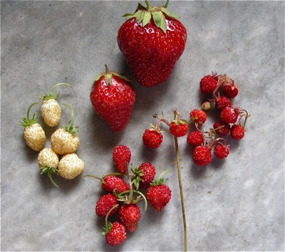 strawberry-sizes-leslie-land-blog